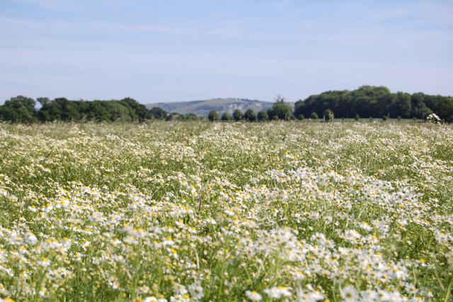 chamomile-field